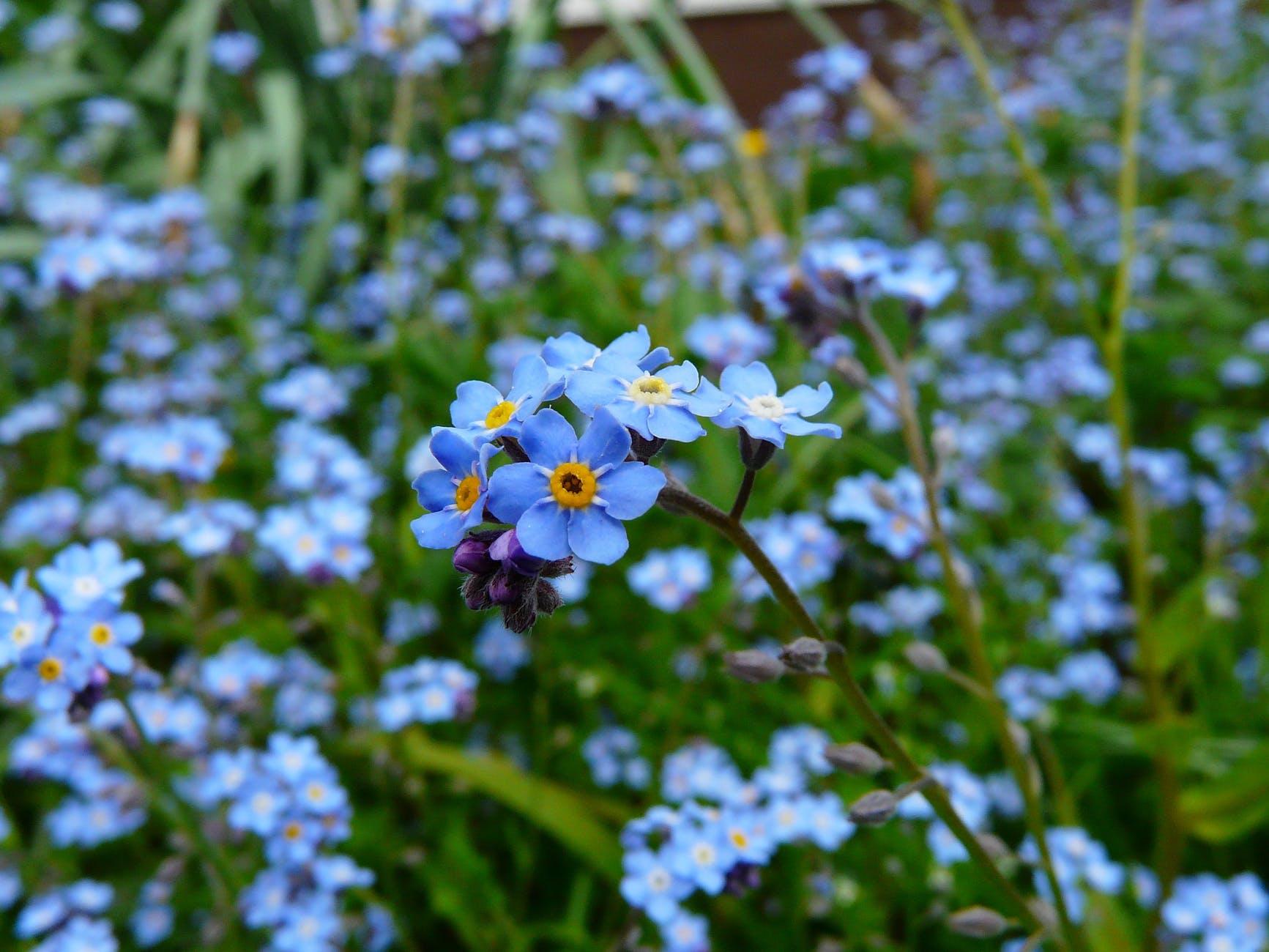 forget-me-not-flower-meadow-wild-flower-60005.jpeg